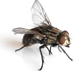 Kamervlieg
