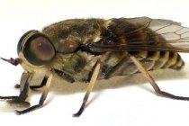 Klustervliegen (Pollenia rudis F.)