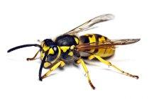Wespen (Paravespula vulgaris)